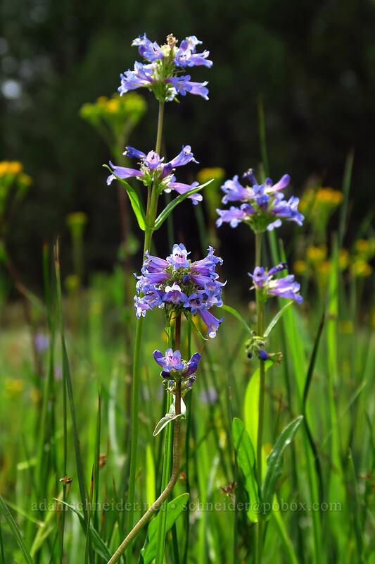Rydberg's penstemon (Penstemon rydbergii) [Lookout Pasture, Ochoco National Forest, Oregon]