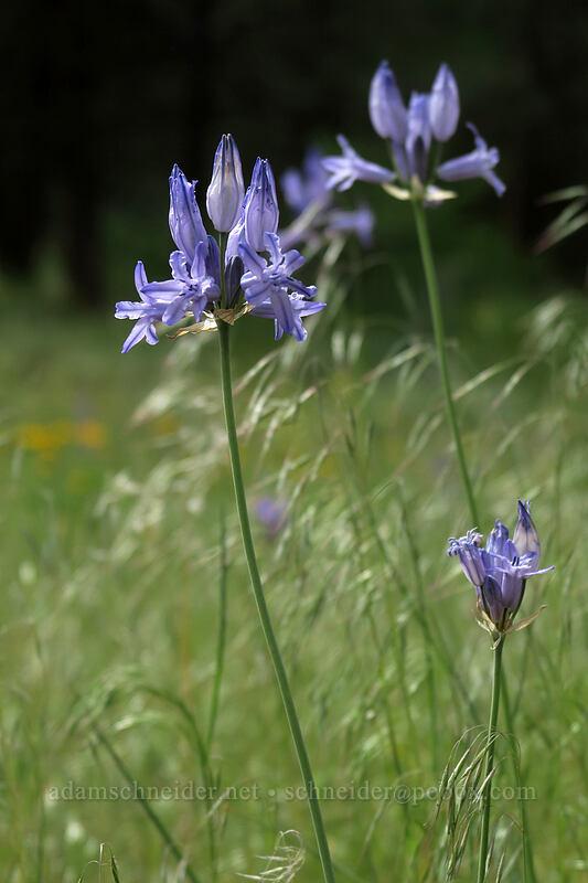 Douglas' brodiaea (Triteleia grandiflora ssp. grandiflora) [Forest Road 42, Big Summit Prairie, Oregon]