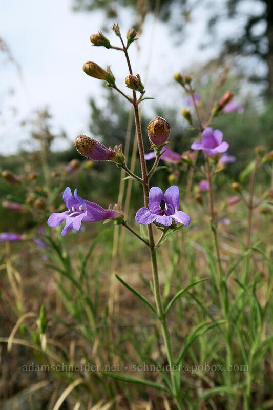 Roezl's penstemon (Penstemon roezlii (Penstemon laetus ssp. roezlii)) [Forest Road 30, Big Summit Prairie, Oregon]