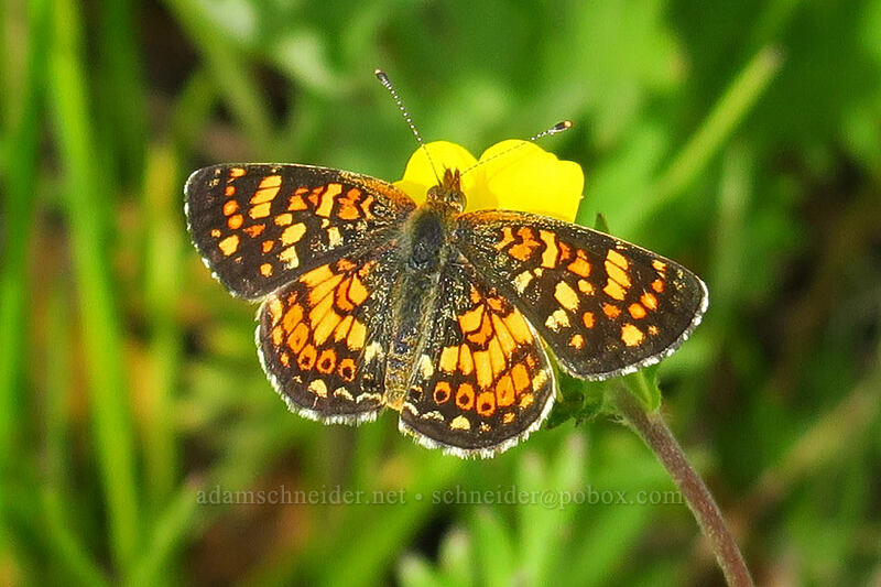 crescent butterfly (Phyciodes sp.) [Forest Road 30, Big Summit Prairie, Oregon]