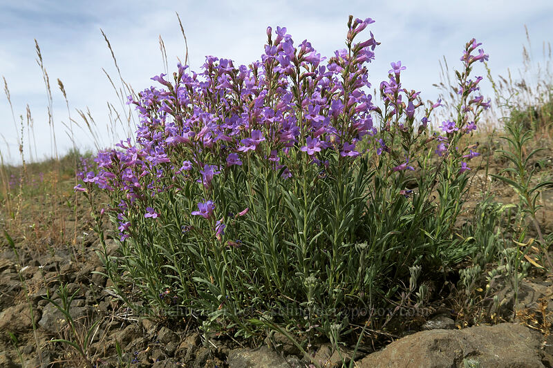 Gairdner's penstemon (Penstemon gairdneri) [Forest Road 30, Big Summit Prairie, Oregon]