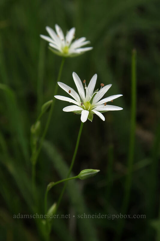 long-stalk starwort (Stellaria longipes) [Forest Road 30, Big Summit Prairie, Oregon]