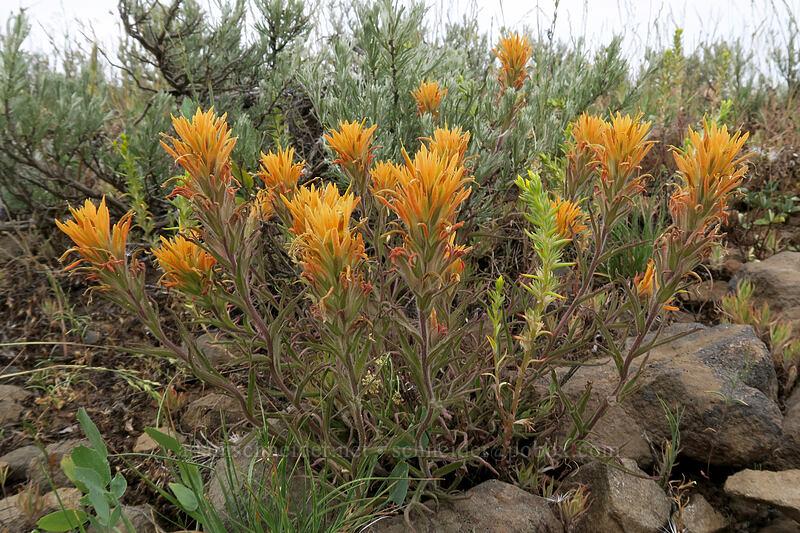 orange paintbrush (which?) (Castilleja sp.) [Forest Road 3010, Big Summit Prairie, Oregon]