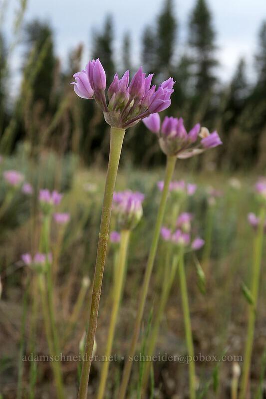 Geyer's onion flowers (Allium geyeri) [Forest Road 2207, Big Summit Prairie, Oregon]