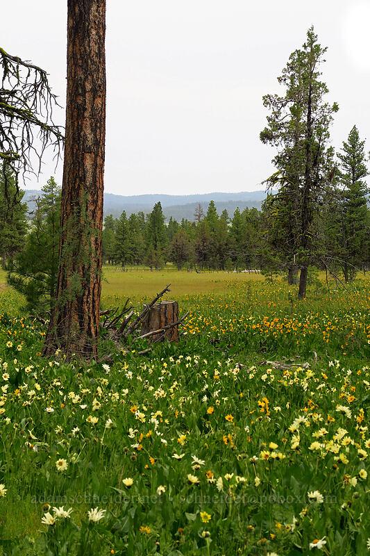 various colors of mule's-ears (Wyethia spp.) [Forest Road 22, Big Summit Prairie, Oregon]