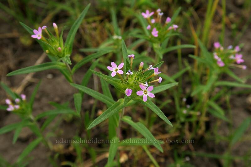 narrow-leaf collomia (Collomia linearis) [Forest Road 22, Big Summit Prairie, Oregon]