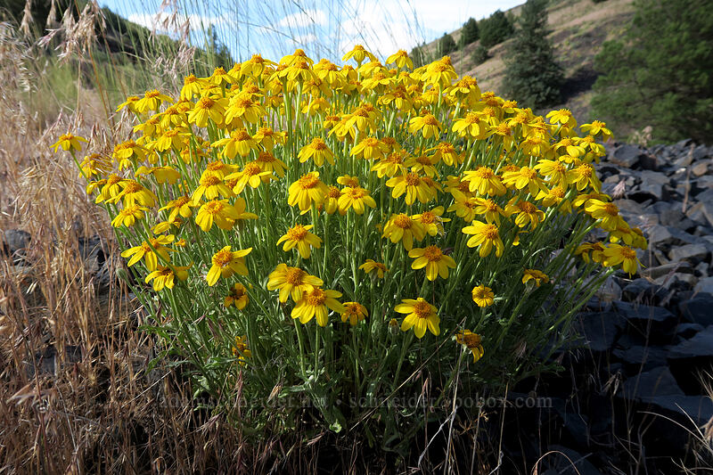 Oregon sunshine (Eriophyllum lanatum) [U.S. Highway 97, Wasco County, Oregon]