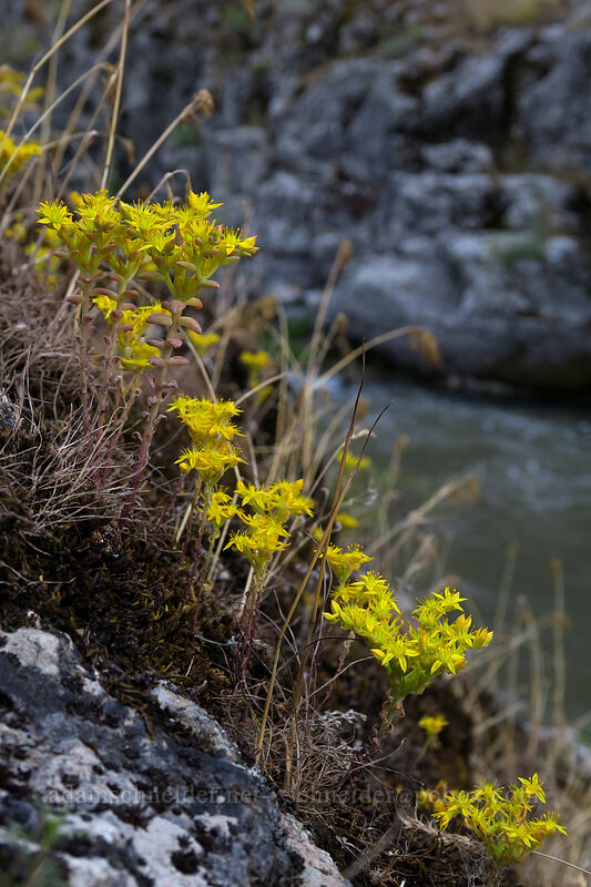 Leiberg's stonecrop (Sedum leibergii) [White River Falls State Park, Wasco County, Oregon]