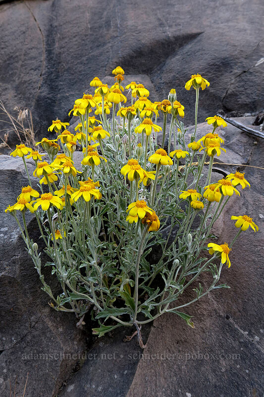 Oregon sunshine (Eriophyllum lanatum) [White River Falls State Park, Wasco County, Oregon]