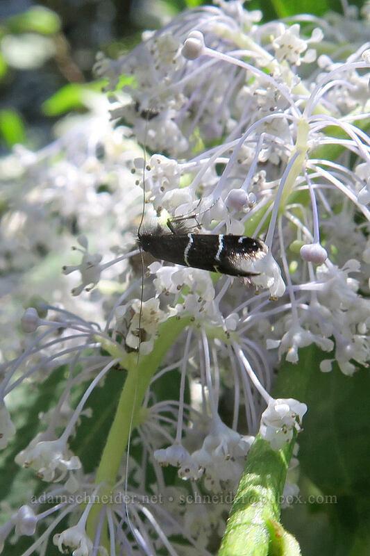 fairy moth on deer brush (Adela trigrapha, Ceanothus integerrimus) [Augspurger Trail, Gifford Pinchot National Forest, Washington]