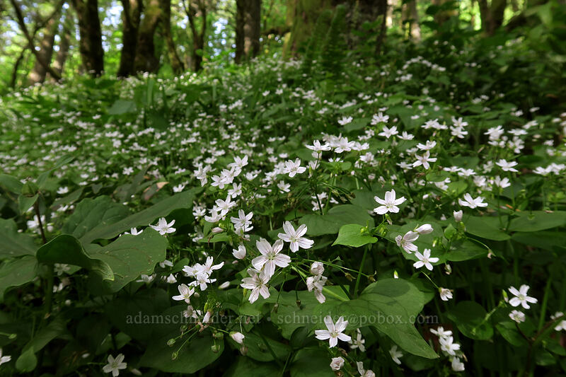candyflower (Claytonia sibirica (Montia sibirica)) [Dog Mountain Trail, Gifford Pinchot National Forest, Washington]