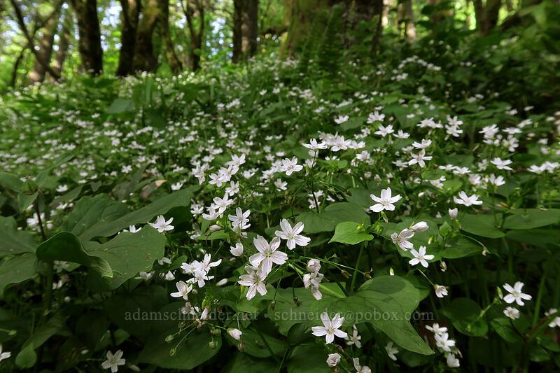candyflower (Claytonia sibirica (Montia sibirica)) [Dog Mountain Trail, Gifford Pinchot National Forest, Washington]