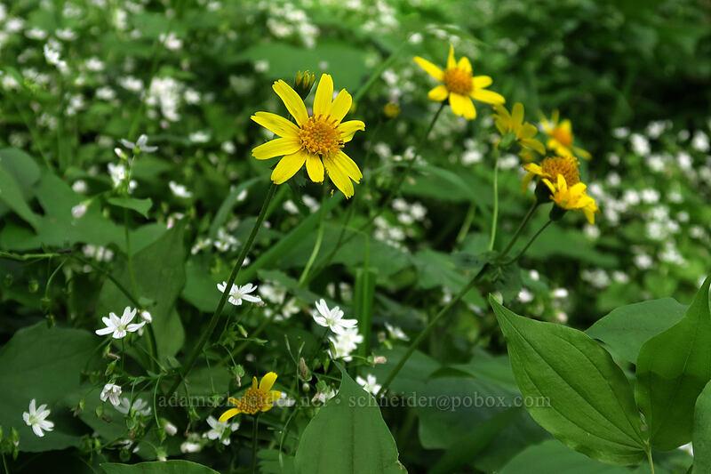 arnica & candyflower (Arnica cordifolia, Claytonia sibirica (Montia sibirica)) [Dog Mountain Trail, Gifford Pinchot National Forest, Washington]