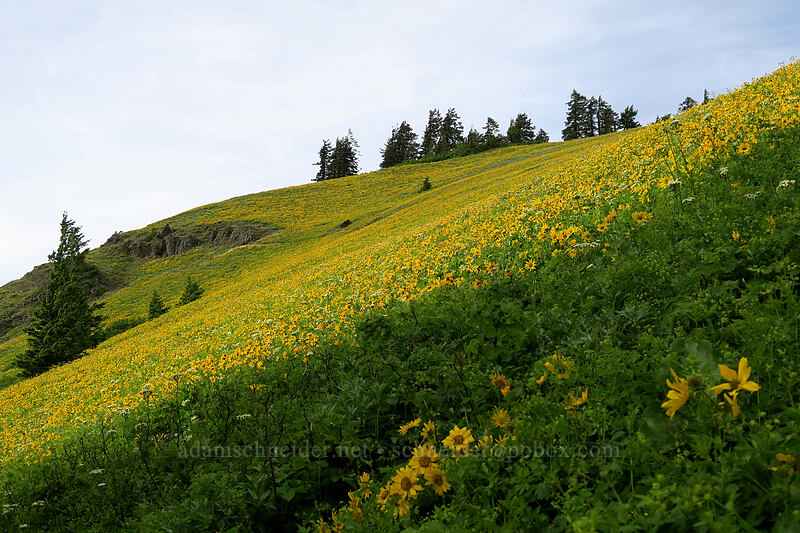 balsamroot (Balsamorhiza deltoidea) [Dog Mountain Trail, Gifford Pinchot National Forest, Washington]