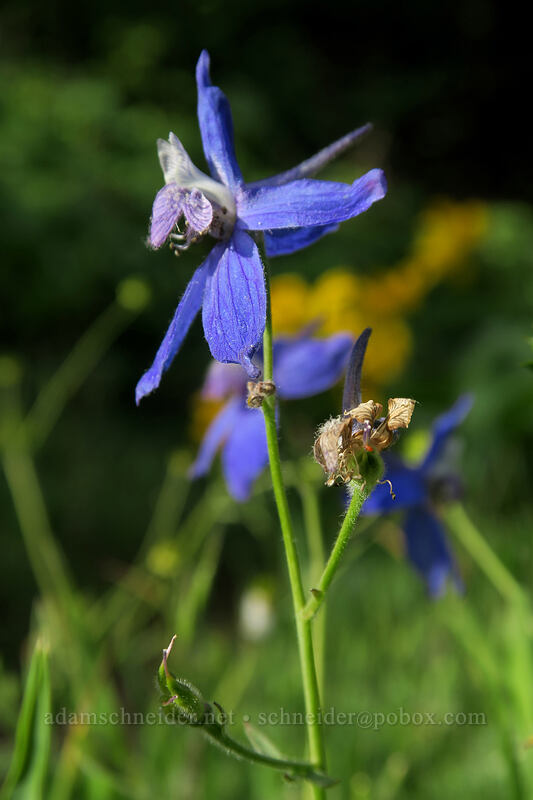 larkspur (Delphinium nuttallianum) [Dog Mountain Trail, Gifford Pinchot National Forest, Washington]