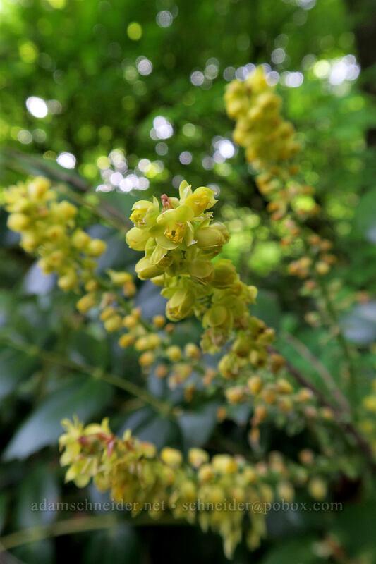 Cascade Oregon-grape (Mahonia nervosa (Berberis nervosa)) [Dog Mountain Trail, Gifford Pinchot National Forest, Washington]