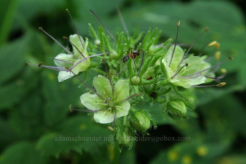 Pacific waterleaf (Hydrophyllum tenuipes) [Dog Mountain Trail, Gifford Pinchot National Forest, Washington]