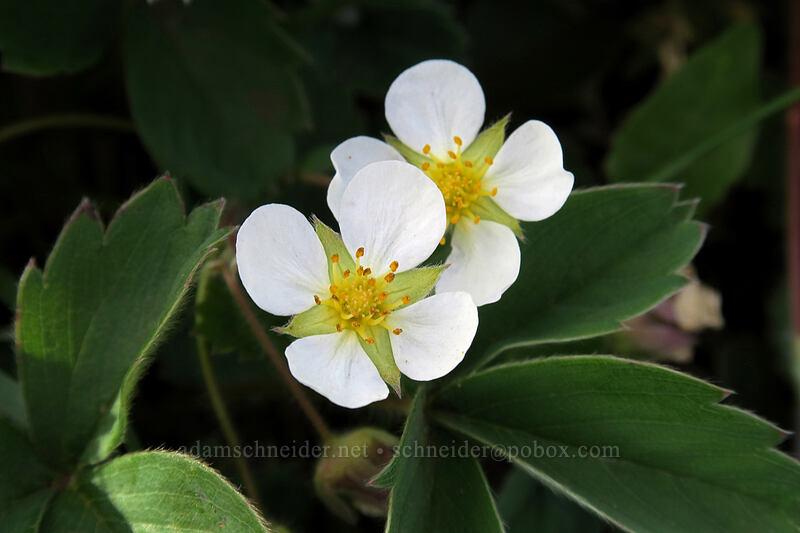 strawberry with 4 petals (Fragaria virginiana) [Dog Mountain Trail, Gifford Pinchot National Forest, Washington]