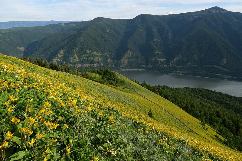 balsamroot (Balsamorhiza deltoidea) [Dog Mountain Trail, Gifford Pinchot National Forest, Washington]