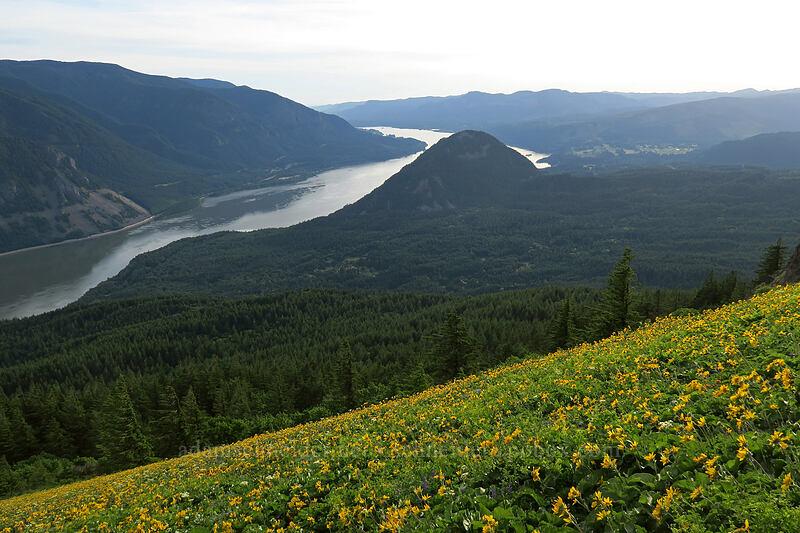 balsamroot & Wind Mountain (Balsamorhiza deltoidea) [Dog Mountain Trail, Gifford Pinchot National Forest, Washington]