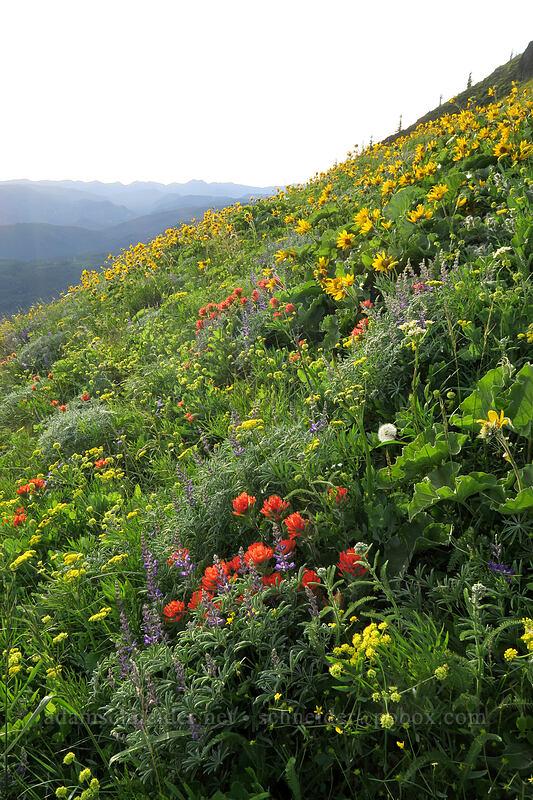paintbrush, lupines, & balsamroot (Castilleja hispida, Lupinus sp., Balsamorhiza deltoidea) [Dog Mountain Trail, Gifford Pinchot National Forest, Washington]