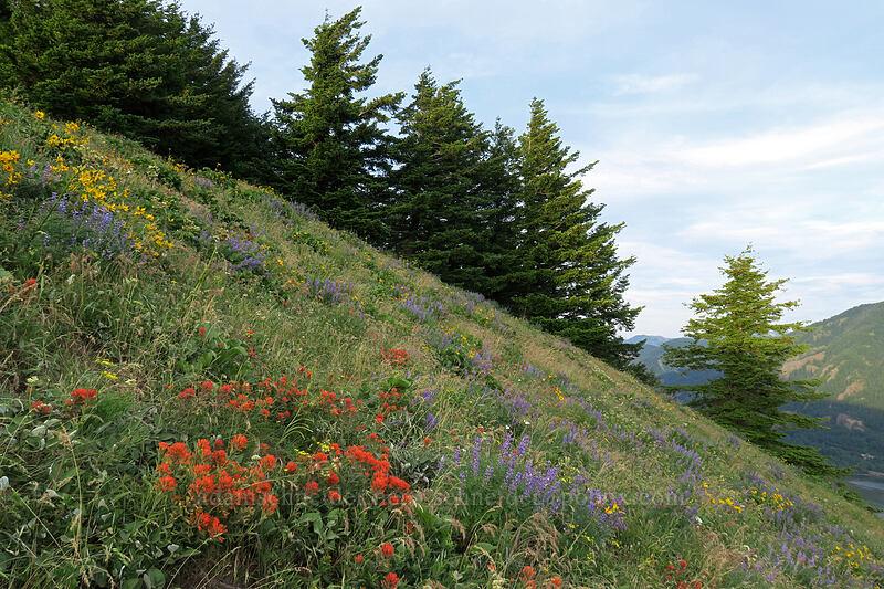 wildflowers (Castilleja hispida, Lupinus sp., Balsamorhiza deltoidea) [Dog Mountain Trail, Gifford Pinchot National Forest, Washington]