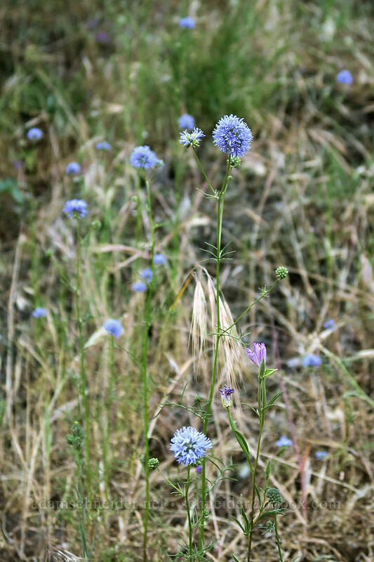 blue-head gilia (Gilia capitata) [Dog Mountain Trail, Gifford Pinchot National Forest, Washington]
