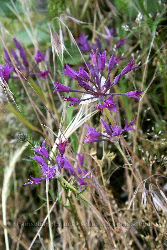 taper-tip onion (Allium acuminatum) [Dog Mountain Trail, Gifford Pinchot National Forest, Washington]