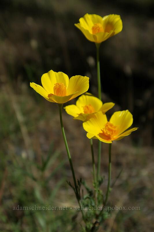 foothill poppies (Eschscholzia caespitosa) [Eight Dollar Mountain, Josephine County, Oregon]