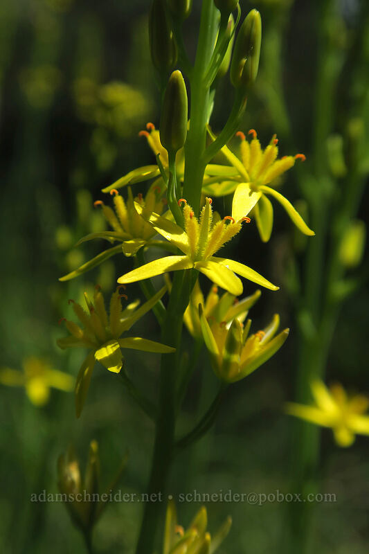 California bog asphodel (Narthecium californicum) [Eight Dollar Mountain Botanical Wayside, Rogue River-Siskiyou National Forest, Oregon]