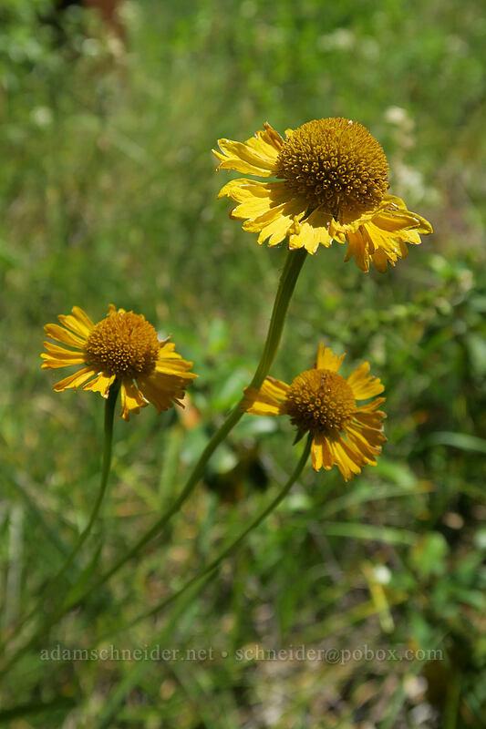 Bigelow's sneezeweed (Helenium bigelovii) [Eight Dollar Mountain Botanical Wayside, Rogue River-Siskiyou National Forest, Oregon]