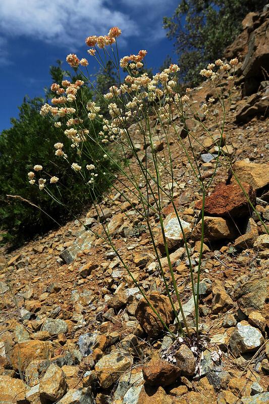 bare-stem buckwheat (Eriogonum nudum) [Eight Dollar Road, Rogue River-Siskiyou National Forest, Oregon]