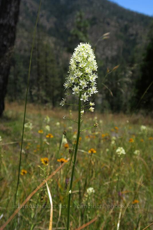 death-camas (Toxicoscordion venenosum (Zigadenus venenosus)) [Days Gulch Botanical Area, Rogue River-Siskiyou National Forest, Oregon]