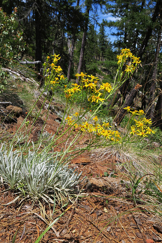 Siskiyou ragwort (Puget butterweed) (Packera macounii (Senecio fastigatus)) [Days Gulch Botanical Area, Rogue River-Siskiyou National Forest, Oregon]