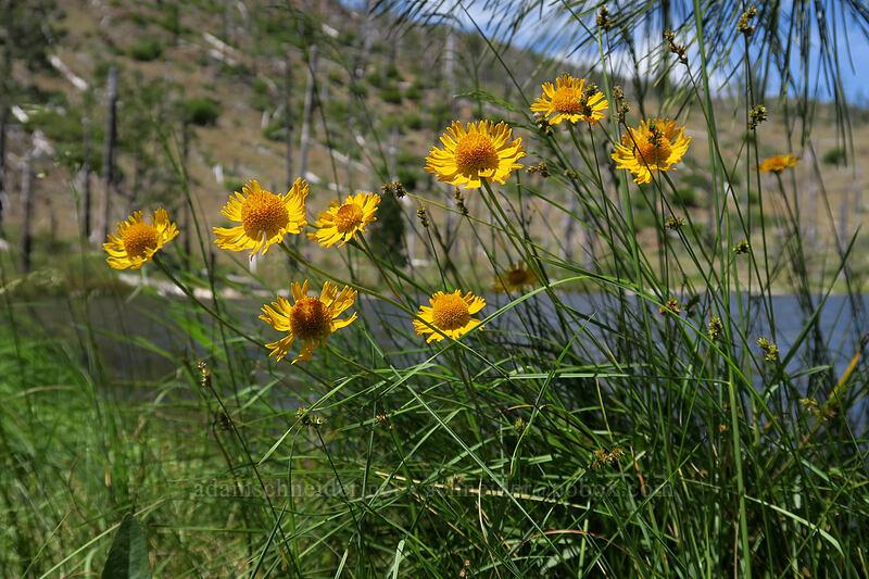 Bigelow's sneezeweed (Helenium bigelovii) [Days Gulch Botanical Area, Rogue River-Siskiyou National Forest, Oregon]