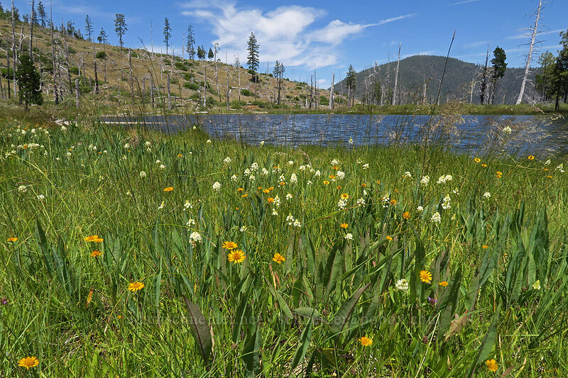 sneezeweed & death-camas (Helenium bigelovii, Toxicoscordion venenosum (Zigadenus venenosus)) [Days Gulch Botanical Area, Rogue River-Siskiyou National Forest, Oregon]