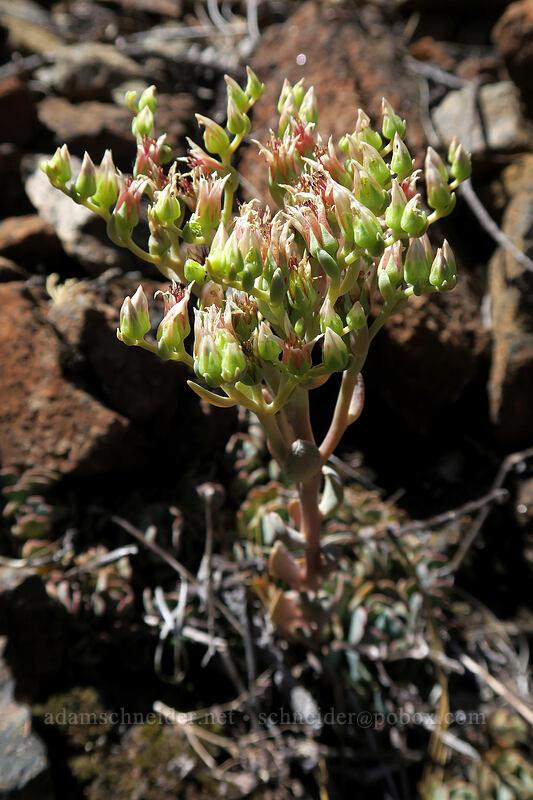rose-flowered stonecrop (Sedum laxum ssp. laxum) [Days Gulch Botanical Area, Rogue River-Siskiyou National Forest, Oregon]