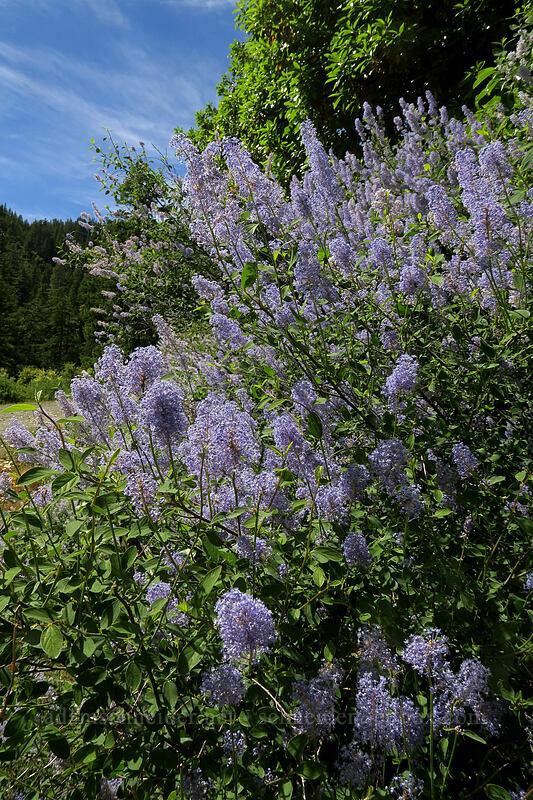 deer brush (Ceanothus integerrimus) [Forest Road 4201, Rogue River-Siskiyou National Forest, Oregon]