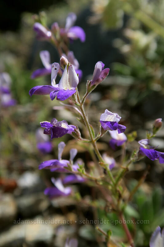narrow-leaf blue-eyed-Mary (Collinsia linearis) [Forest Road 4201, Rogue River-Siskiyou National Forest, Oregon]