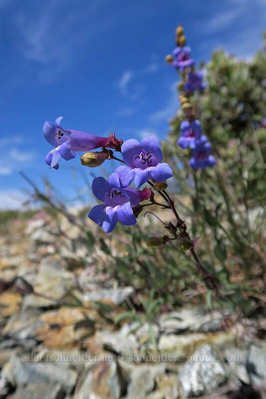 azure penstemon (Penstemon azureus) [Babyfoot Lake Trailhead, Rogue River-Siskiyou National Forest, Oregon]