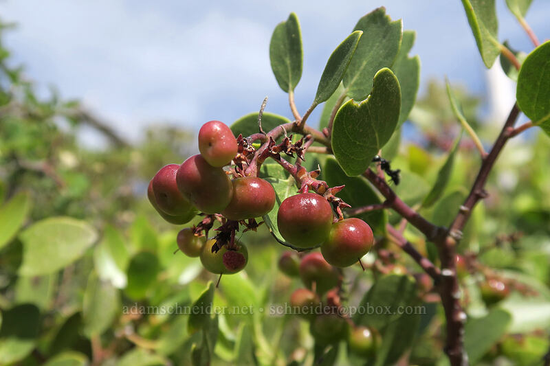 green-leaf manzanita berries (Arctostaphylos patula) [Babyfoot Lake Trail, Rogue River-Siskiyou National Forest, Oregon]