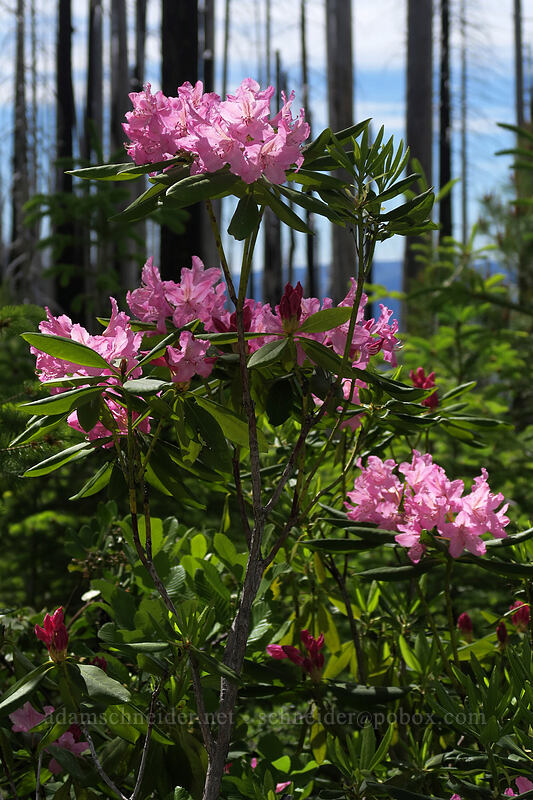 Pacific rhododendron (Rhododendron macrophyllum) [Babyfoot Lake Trail, Rogue River-Siskiyou National Forest, Oregon]