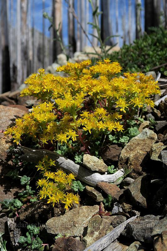 broad-leaf stonecrop (Sedum spathulifolium) [Babyfoot Lake Trail, Rogue River-Siskiyou National Forest, Oregon]