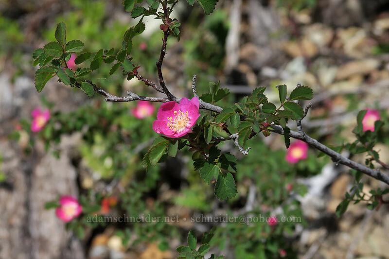 hot pink rose (Rosa sp.) [Babyfoot Lake Trail, Rogue River-Siskiyou National Forest, Oregon]