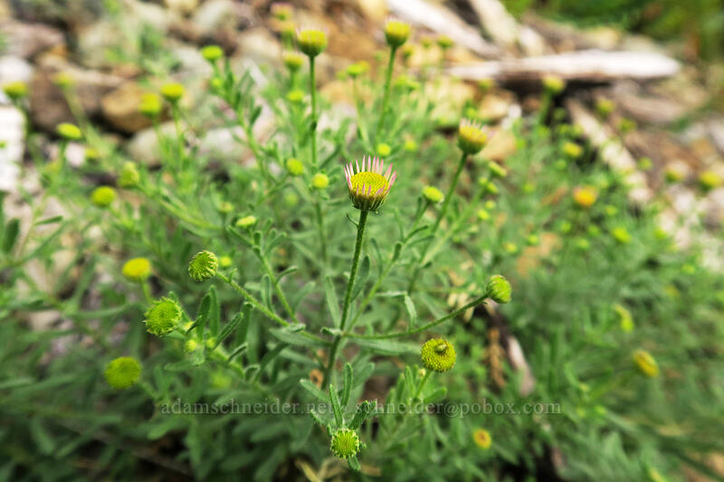 Klamath fleabane (Klamath daisy), budding (Erigeron klamathensis (Erigeron breweri var. klamathensis)) [Babyfoot Lake Trail, Rogue River-Siskiyou National Forest, Oregon]