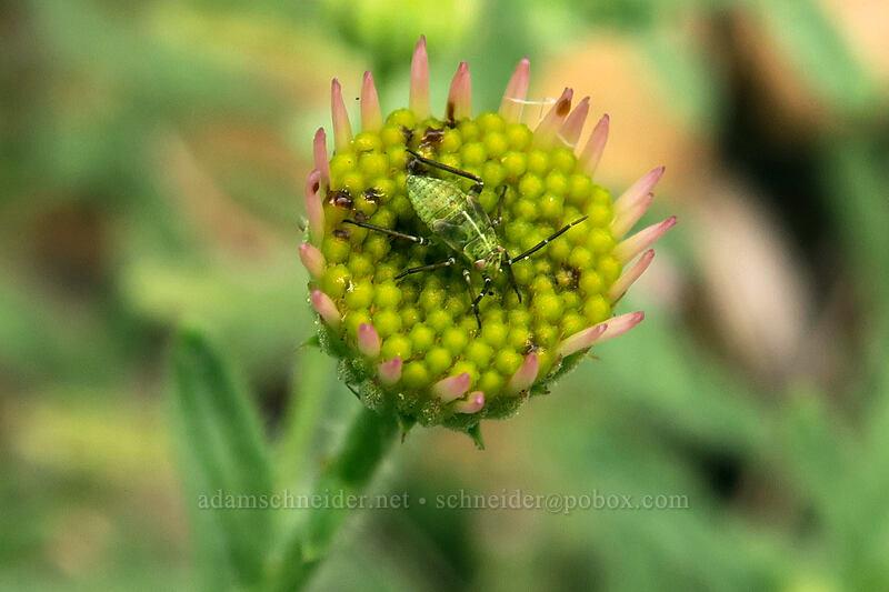 plant bug nymph on Klamath fleabane (Lygus sp., Erigeron klamathensis (Erigeron breweri var. klamathensis)) [Babyfoot Lake Trail, Rogue River-Siskiyou National Forest, Oregon]