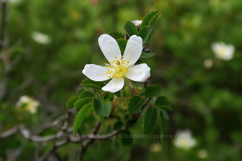 white rose (Rosa sp.) [Babyfoot Lake Trail, Rogue River-Siskiyou National Forest, Oregon]