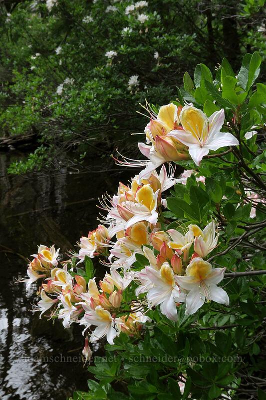 western azalea (Rhododendron occidentale) [Babyfoot Lake, Kalmiopsis Wilderness, Oregon]