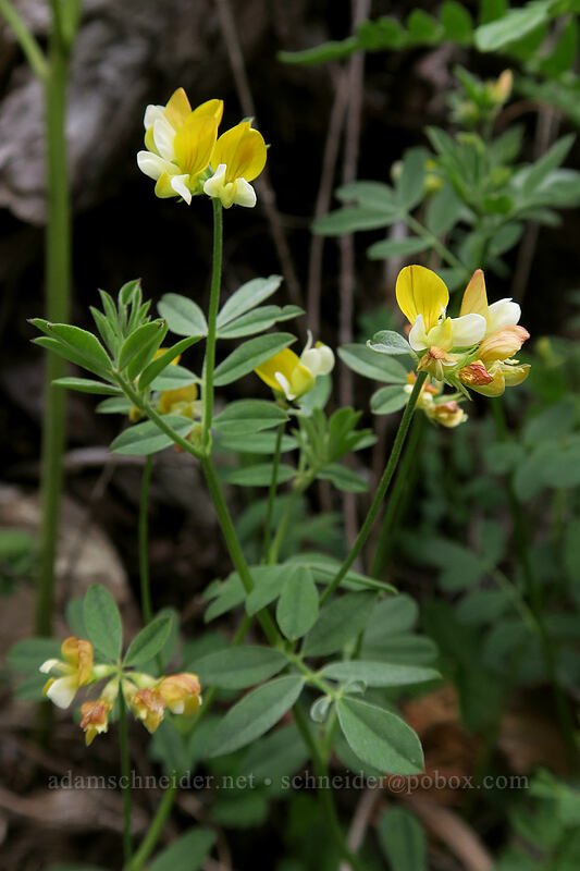 meadow bird's-foot trefoil (Hosackia pinnata (Lotus pinnatus)) [Babyfoot Lake, Kalmiopsis Wilderness, Oregon]