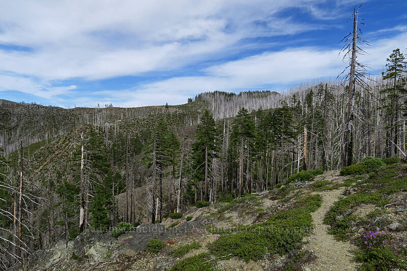 Biscuit Fire damage [Babyfoot Lake Trail, Kalmiopsis Wilderness, Oregon]